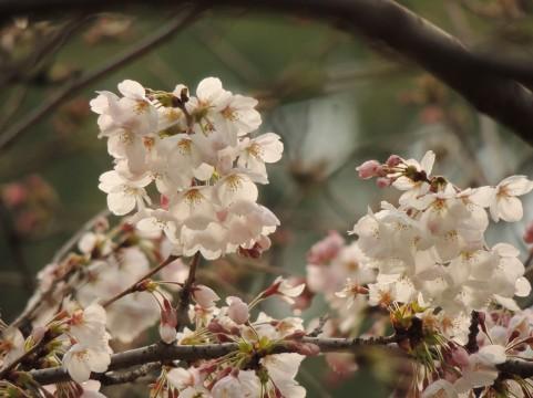 桜の季節、新たなスタートに向けて